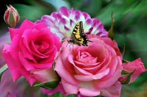 rosa-954205_960_720
